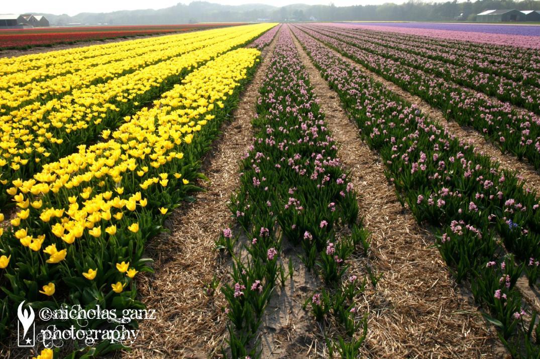 Tulpenfelder bei Egmont aan Zee in den Niederlanden.