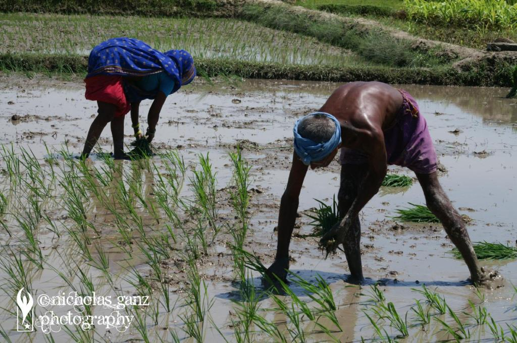 Farmer pflanzen Reissetzlinge auf ihrem Feld im südlichen Nepal.